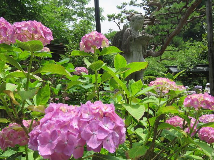 資福寺のアジサイと二宮金次郎